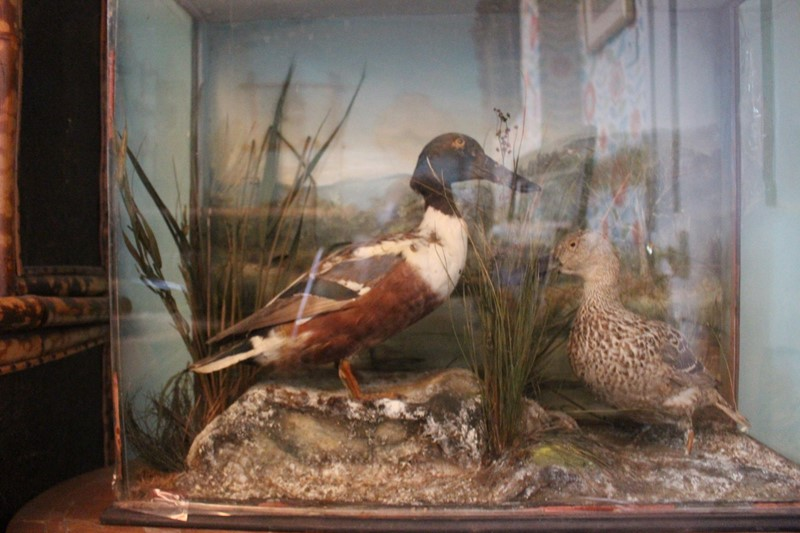Victorian Taxidermy pair of ducks in diorama-archgothic-img-6069-main-637077051245485011.JPG