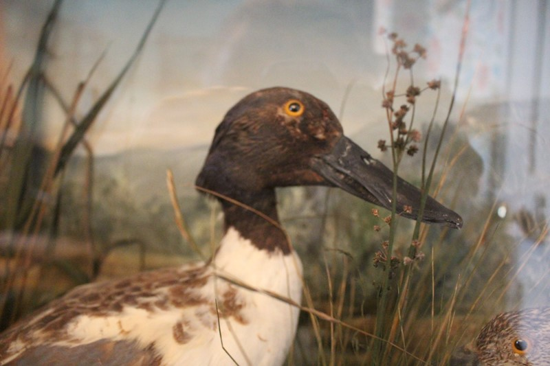 Victorian Taxidermy pair of ducks in diorama-archgothic-img-6071-main-637077051618138729.JPG