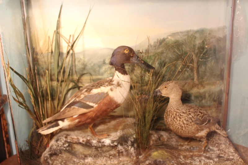 Victorian Taxidermy pair of ducks in diorama-archgothic-img-6075-main-637077051650794563.JPG