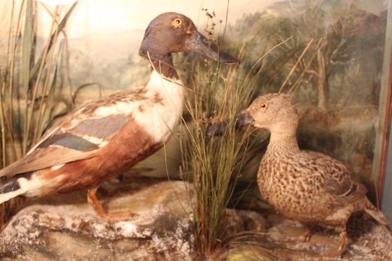 Victorian Taxidermy pair of ducks in diorama-archgothic-img-6078-main-637077051659389015.JPG