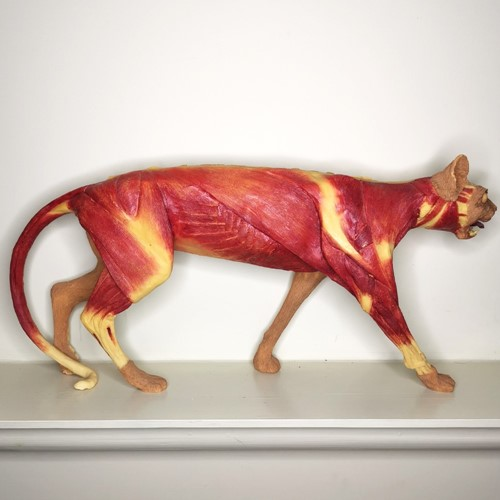 Anatomical Cat Model