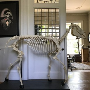 Zebra Skeleton