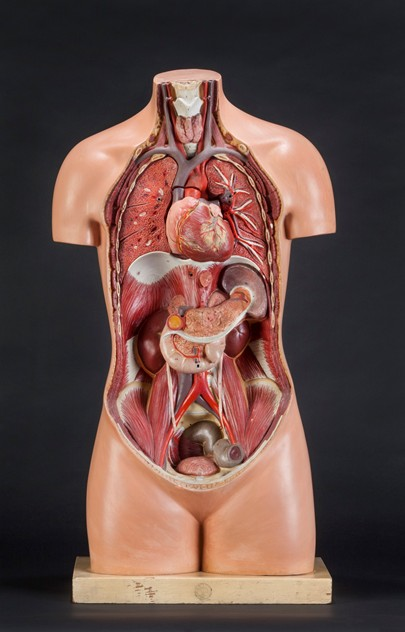 Anatomical Torso with Removable Heart by SOMSO-ljw-antiques-0063_front_main_636081851499476698.jpg