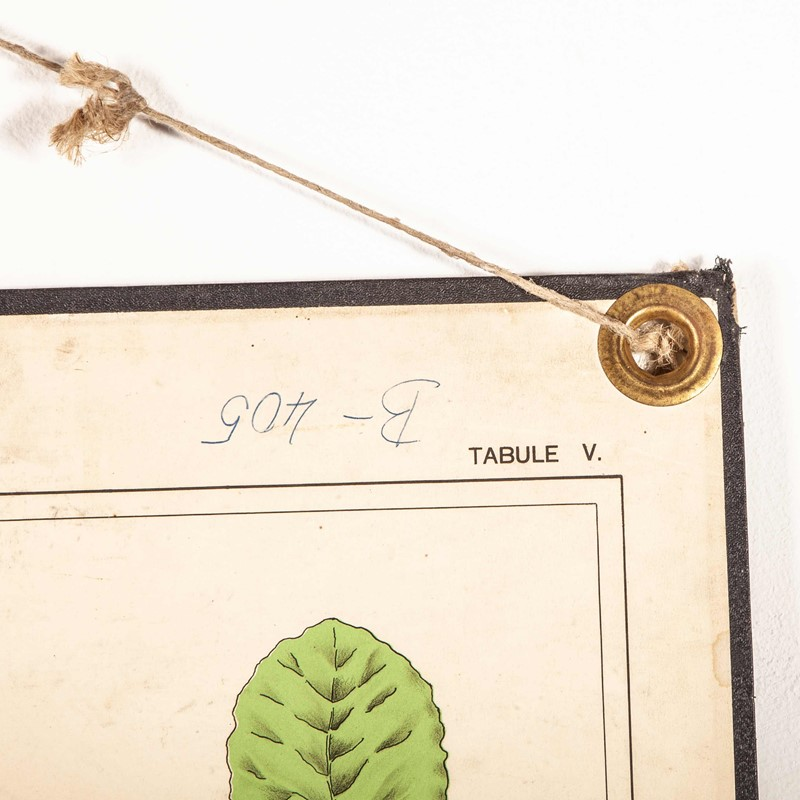 Early 20th Century Rigid  Botanical Chart-merchant-found-71225f-main-637123483321723435.jpg