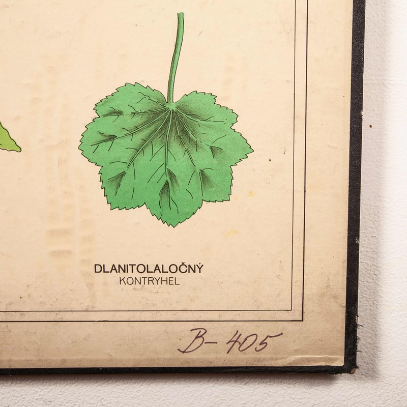 Early 20th Century Rigid  Botanical Chart-merchant-found-71225h-main-637123483361723799.jpg