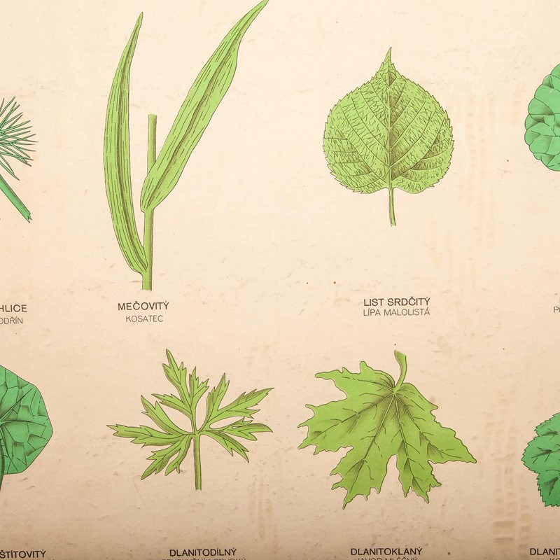 Early 20th Century Rigid  Botanical Chart-merchant-found-71225i-main-637123483386254357.jpg