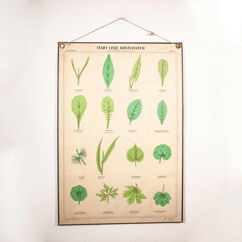 Early 20th Century Rigid  Botanical Chart-merchant-found-71225y-main-637123482998551411.jpg