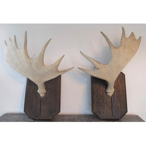 Pair of mounted moose antlers