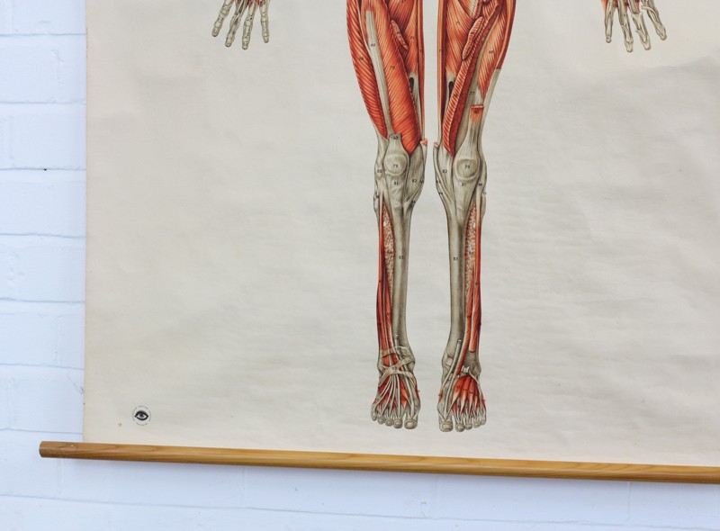 Anatomical Wall Chart Of The Muscles Circa 1960s-otto-s-antiques-IMG_1613-main-636670189246889683.JPG