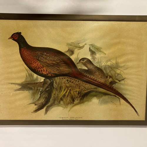 Brass framed common pheasant.