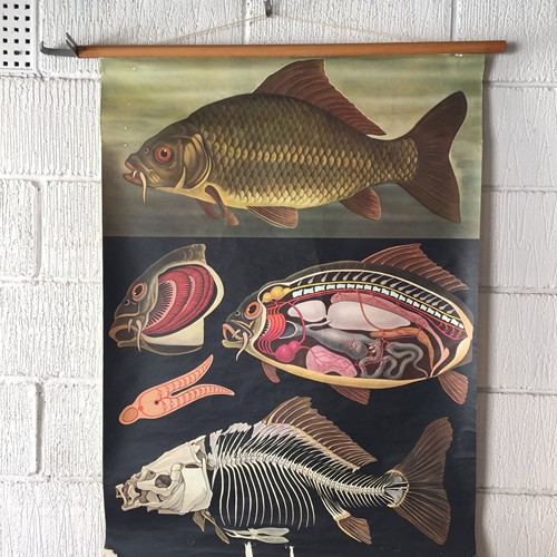 Wall Chart Of A Carp Fish By Jung Koch Quentell