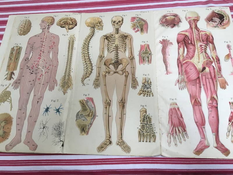 Anatomy of female body book - exceptional plates -sandie-lewis-antiques-and-interiors-435e175e-40d9-486e-975e-8fe8147150ac-main-637314570239566773.jpeg