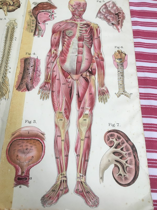 Anatomy of female body book - exceptional plates -sandie-lewis-antiques-and-interiors-4732b252-0c17-4ae8-bbb0-30baf9b81a69-main-637314572237845401.jpeg