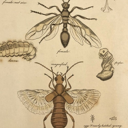Natural History Lithograph 1808 By G Kearsley