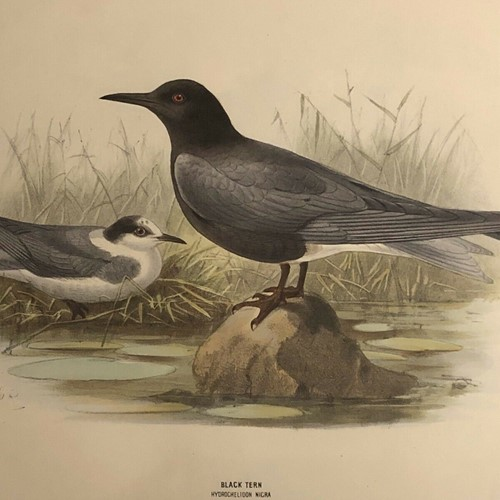 Antique Hand Coloured Lithograph black tern