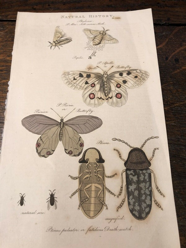 Natural  History Lithograph 1808 By G Kearsley -windmill-hill-antiques-lith1-main-637122754777408870.jpg