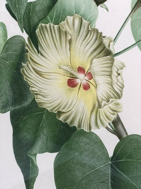 Botanical lithograph Sydney Parkinson Thespesia -windmill-hill-antiques-sid1-main-637004389660259385.jpg