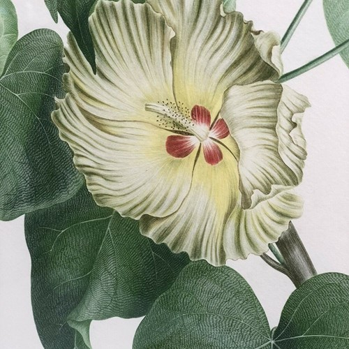 Botanical lithograph Sydney Parkinson Thespesia