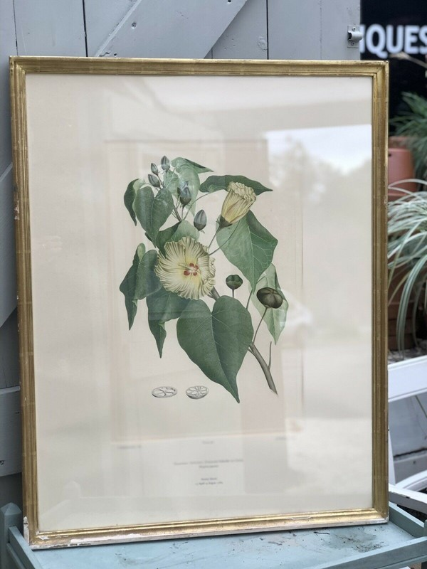 Botanical lithograph Sydney Parkinson Thespesia -windmill-hill-antiques-sid3-main-637004389886038782.jpg